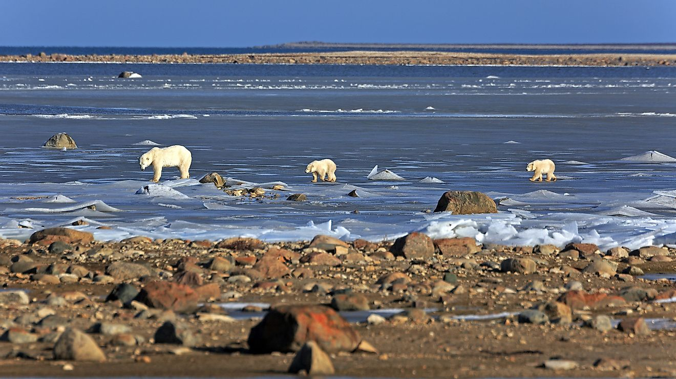 A polar bear family on the ice of the Hudson bay in Canada. Image credit: Bildagentur Zoonar GmbH/Shutterstock.com