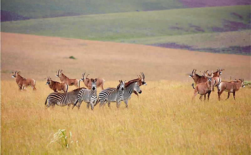 Roan Antilope and zebra at Nyika plateau, Malawi, Africa