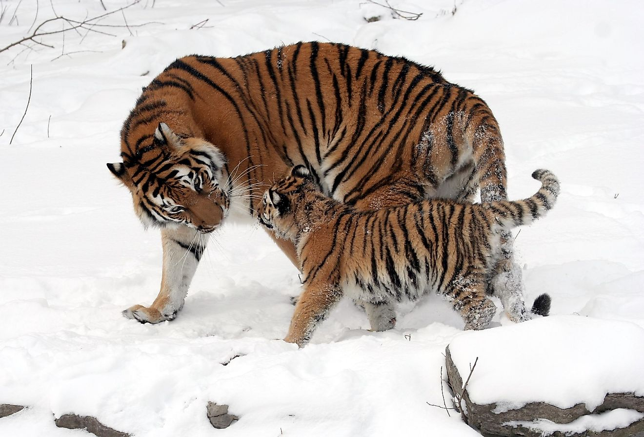 The Siberian tiger is an iconic species of the Russian wilds.