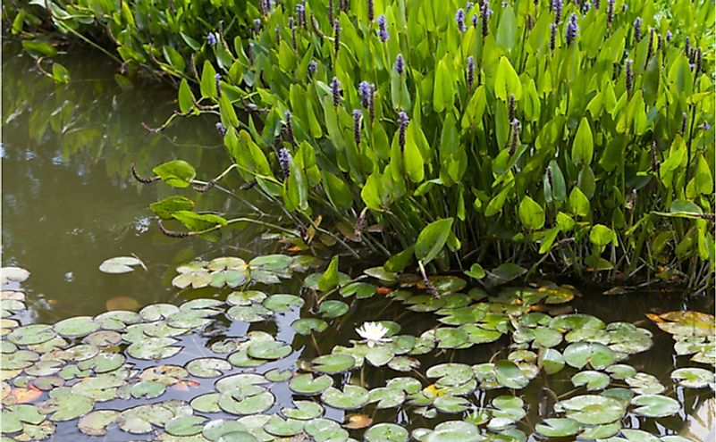 Violet blue pontederia plant growing in the pond.