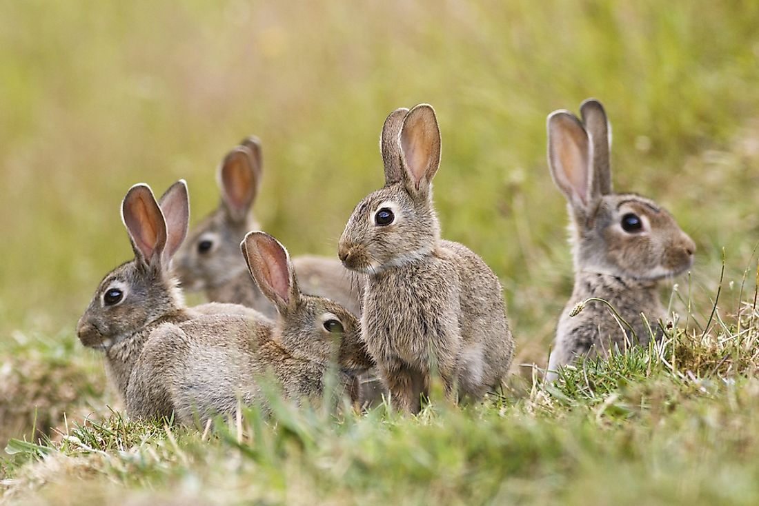 Rabbits are found on every continent except Antarctica.
