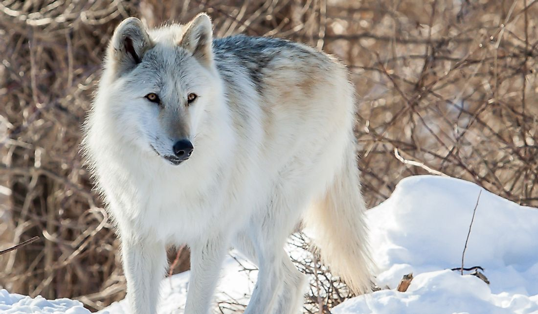 The Mackenzie Valley wolf can reach up to 175 pounds.