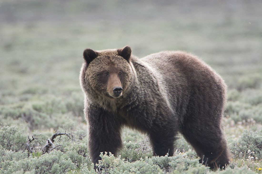Grizzly bears can be found living throughout Yellowstone National Park. Photo credit: shutterstock.com.