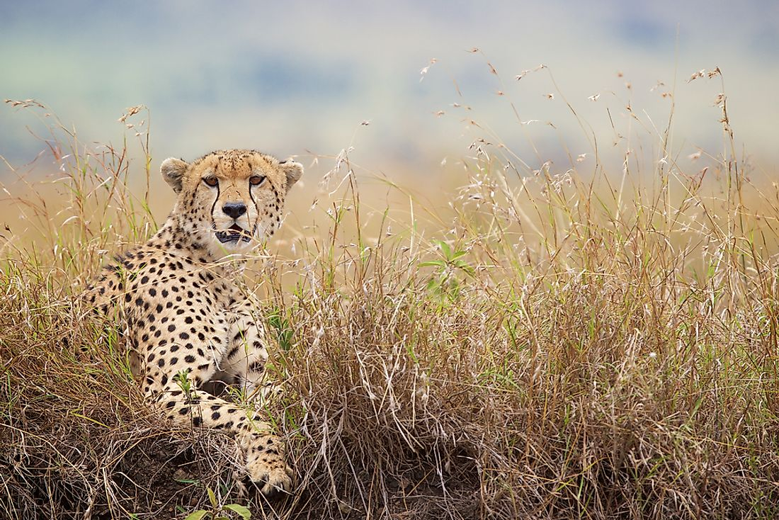 Cheetahs can often be found throughout savannahs.
