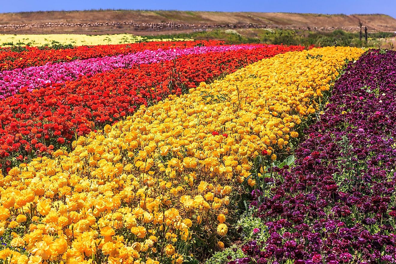 Spring flowers blooming in a flower field in Israel.