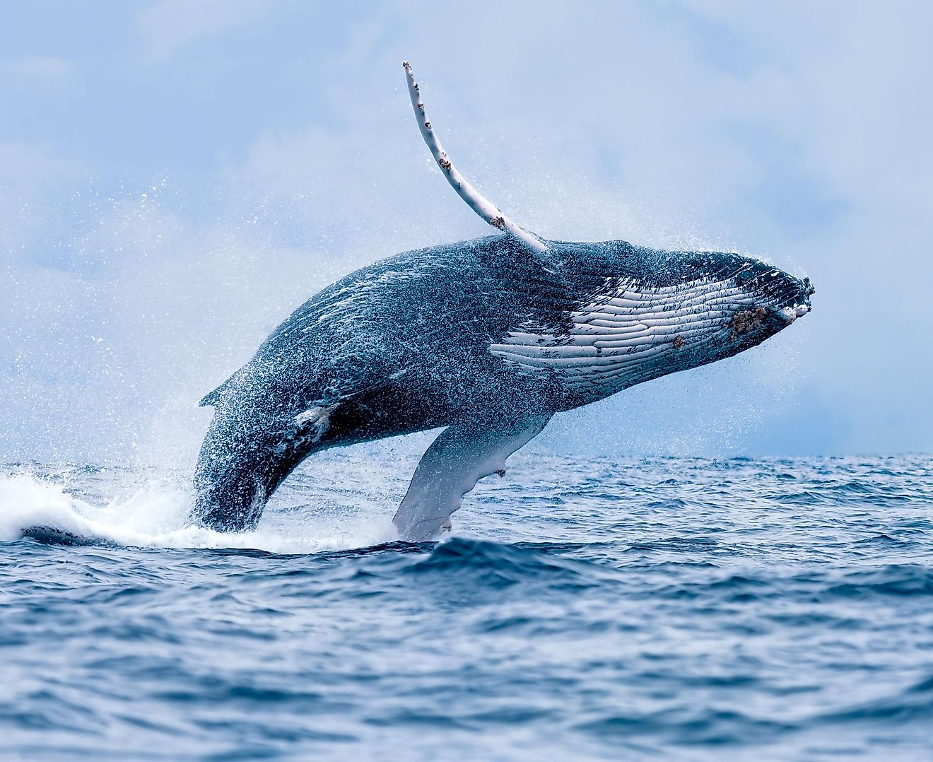 It's a spectacular, mesmerizing sight, a gigantic mammal flinging itself out of the ocean.