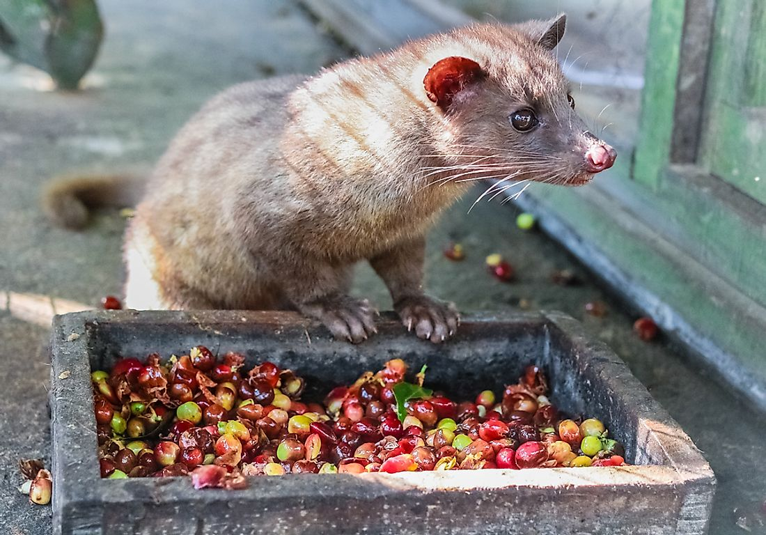 A civet scopes out coffee beans to taste in Bali, Indonesia. Although the coffee beans that pass through the digestive system may produce a unique cup of coffee, many civets are kept in prohibitive captivity that endangers their lives. Photo credit: Shutterstock.com.