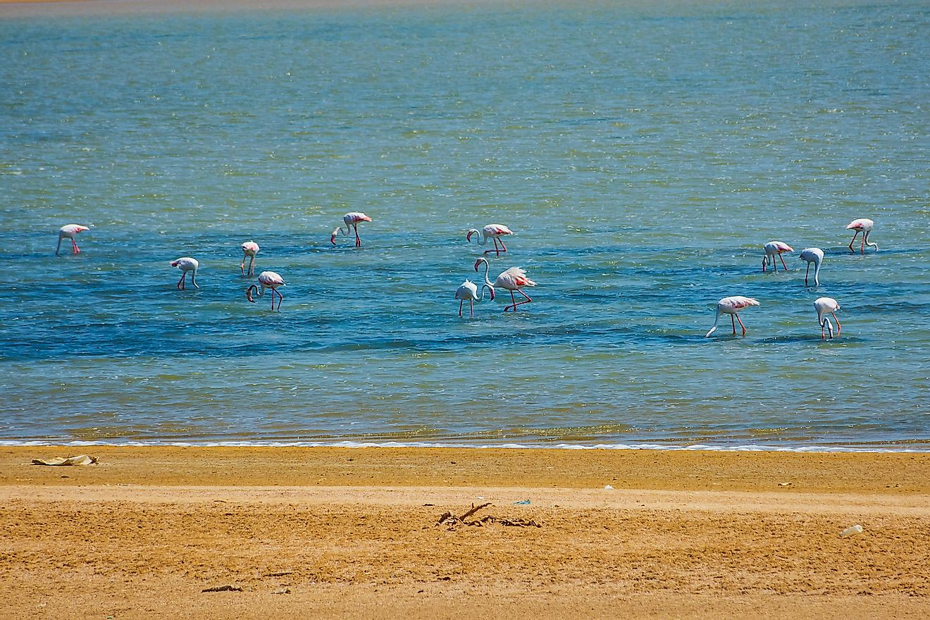 Greater flamingos on the Red Sea shore in Jeddah, Saudi Arabia. Image credit: KV Naushad/Shutterstock.com