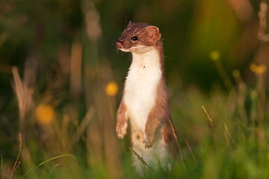 A stoat in the grass.