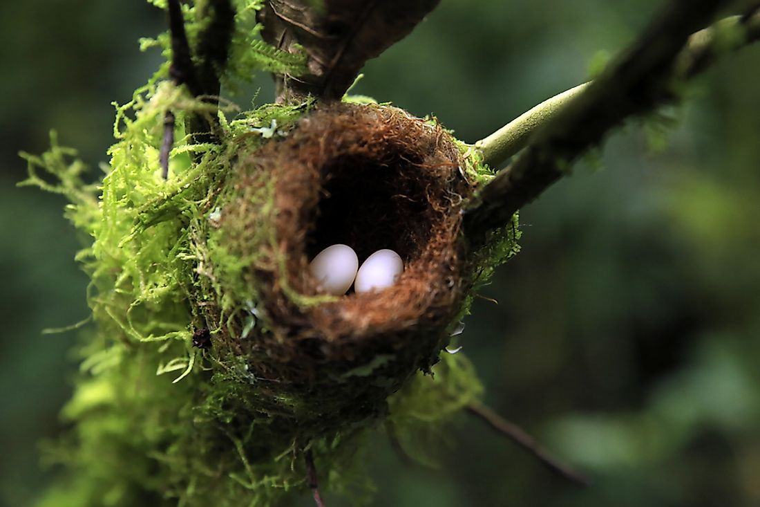 Hummingbird eggs are among the smallest eggs ever laid by birds.
