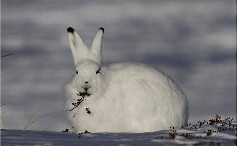 Arctic hare (Lepus arcticus) with willow in mouth in snow near Arviat, Nunavut.