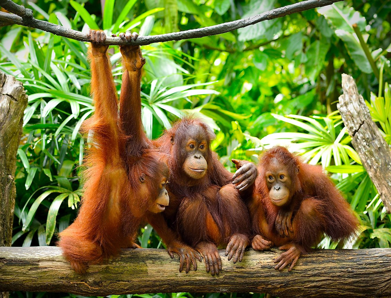 A group of young orangutans socializing. Image credit: Tristan Tan/Shutterstock.com