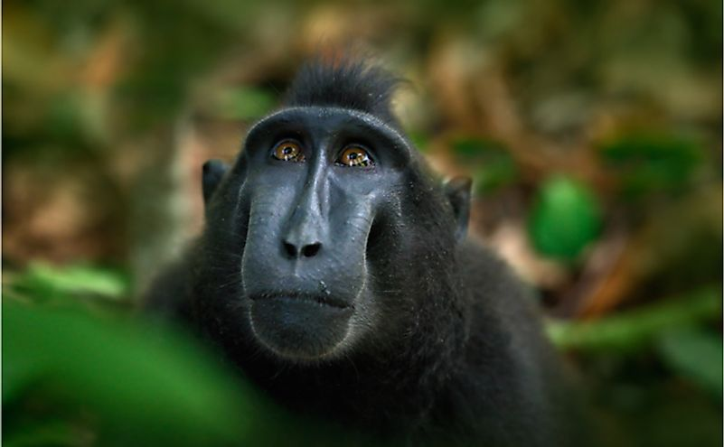 Celebes crested macaque in Sulawesi, Indonesia.