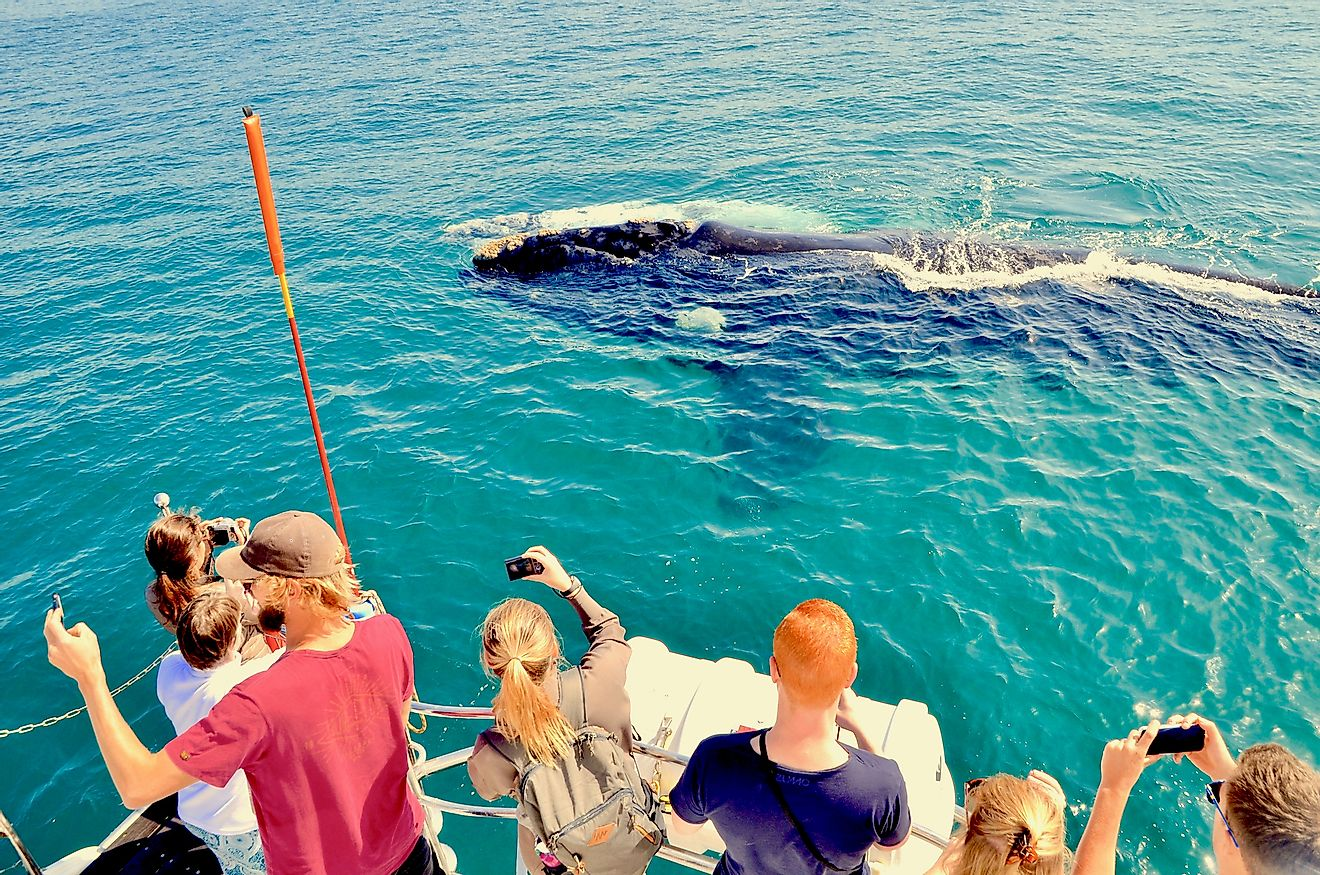 Tourists on board whale watching ship taking photo of mother whale and white calf in water off the waters of Walker Bay near Hermanus, Cape Overberg, South Africa. Image credit: Edinburghcitymom/Shutterstock.com