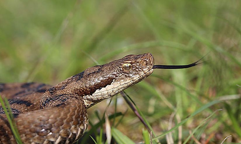 ​European Asp is a venomous viper found in parts of southwestern Europe including France.