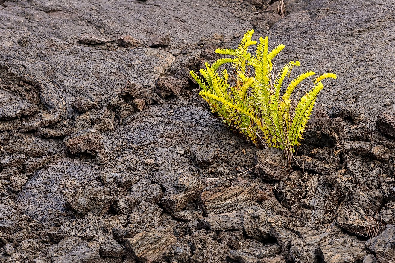 A tiny fern growing on barren rock, the first signs of ecological succession.