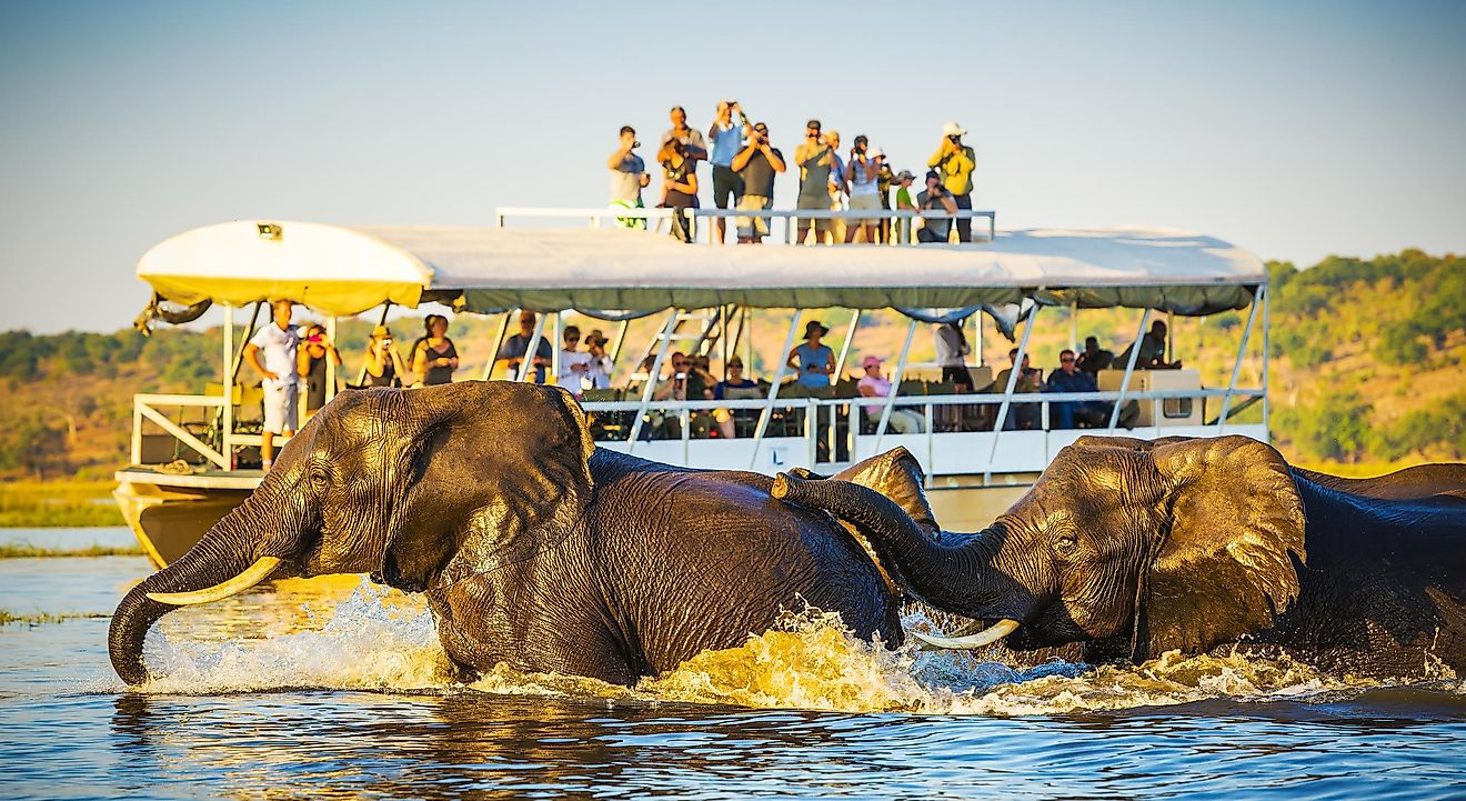 African Elephants swimming across the Chobe River, Botswana with tourists on safari watching on. Image credit: THPStock/Shutterstock.com