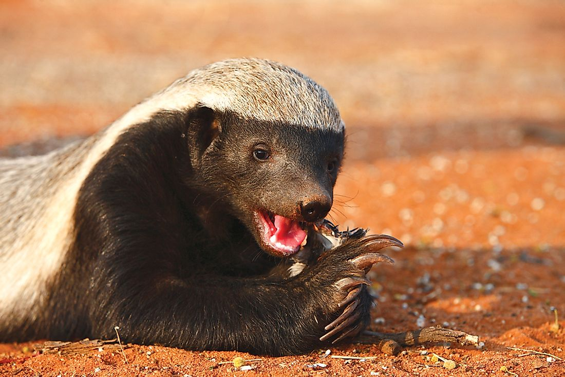 Honey Badger eating.