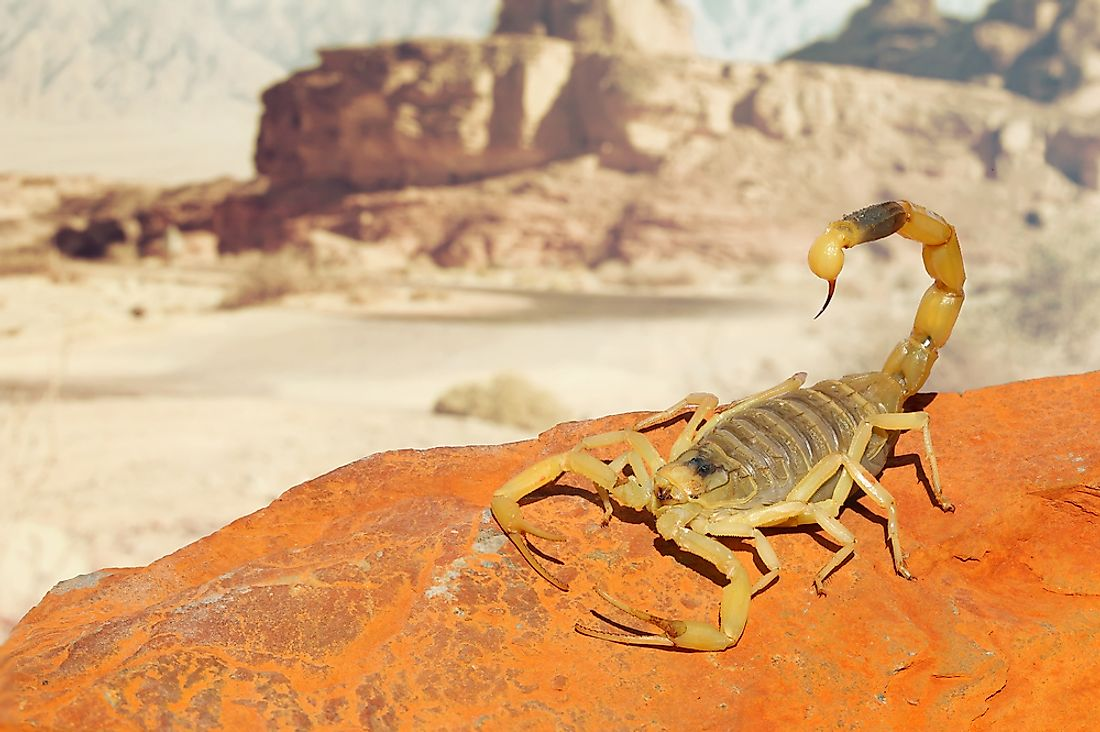 The deathstalker scorpion, one of the most lethal species of scorpion found on Earth.