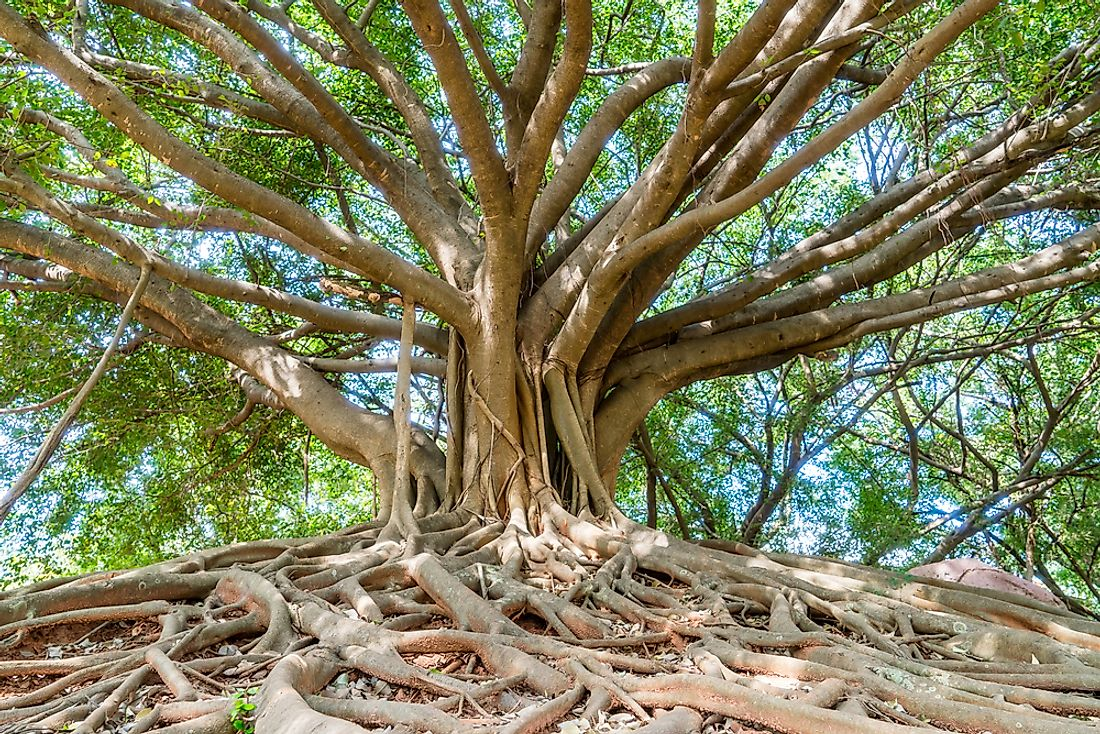 Close-up of a banyan tree.