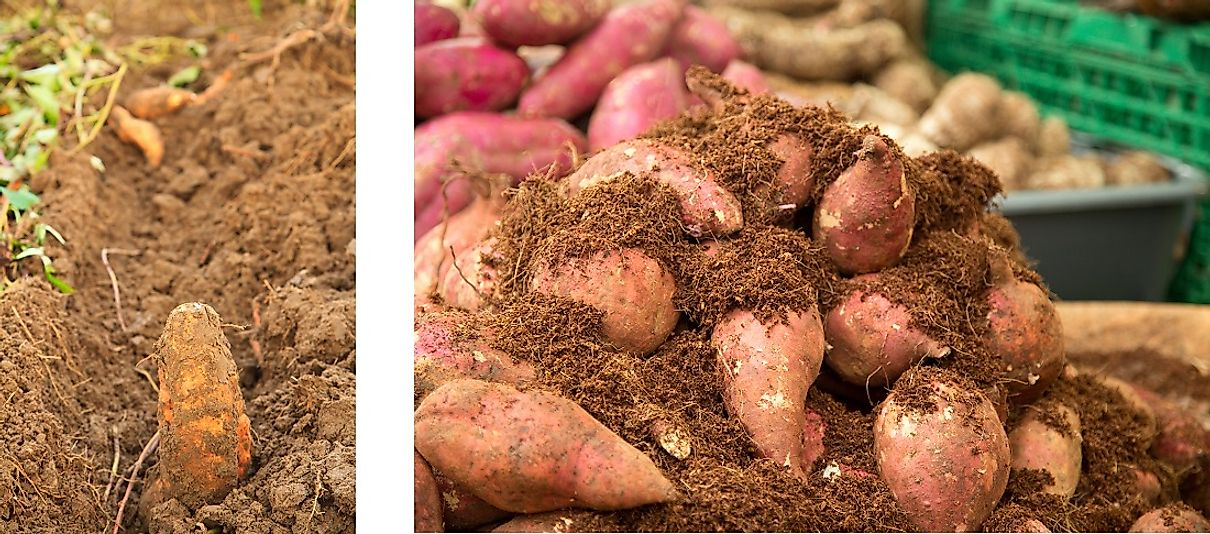 Sweet potatoes freshly plowed up from the row (left) and harvested (right).