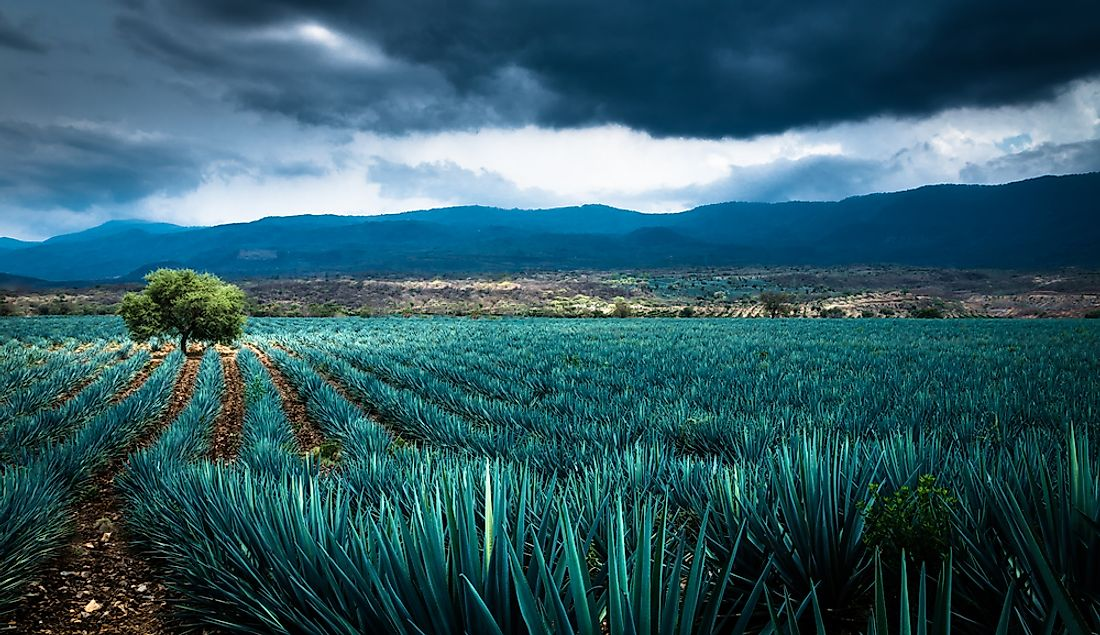 A field full of agave in Mexico.