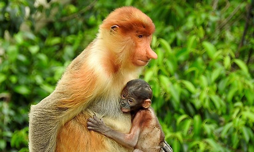 The proboscis monkey and its baby, a unique, endemic species of Borneo.