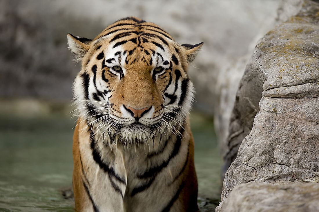 "Large predators like tigers are often said to be ""on top of the food chain""."