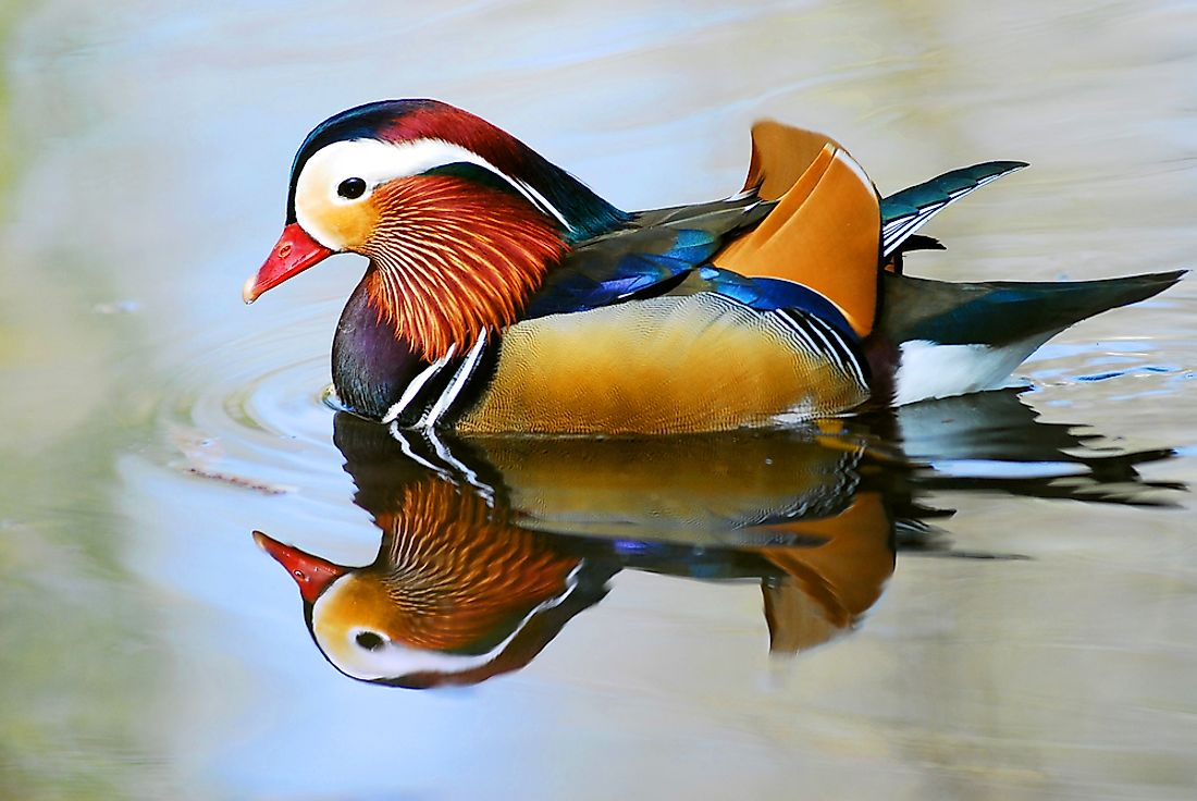 Male Mandarin Ducks are known for being much more colorful than their female counterparts.