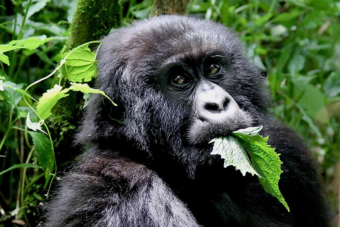 A Mountain gorilla in Rwanda eating leaves.