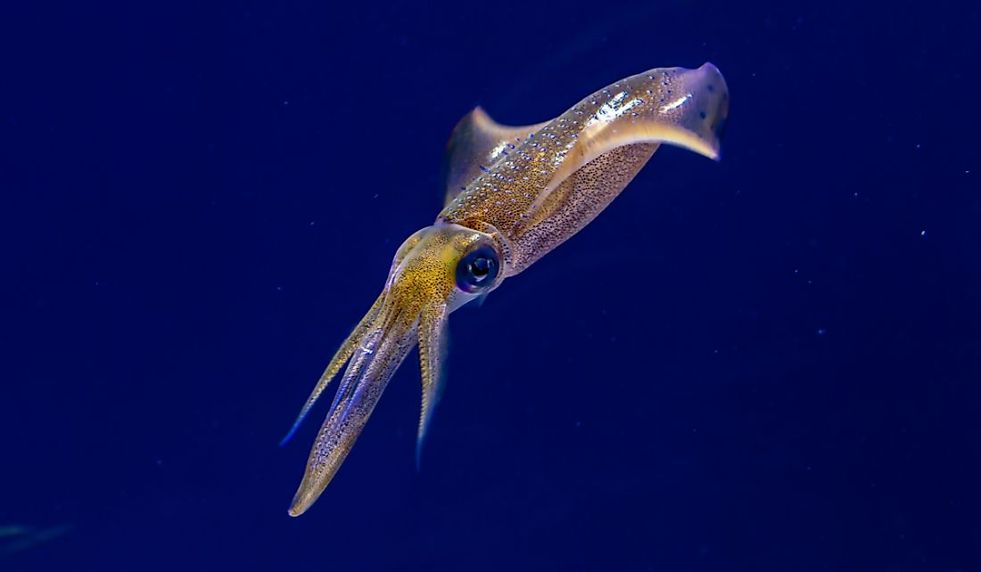 Squids have three hearts; one main heart and two branchial hearts.