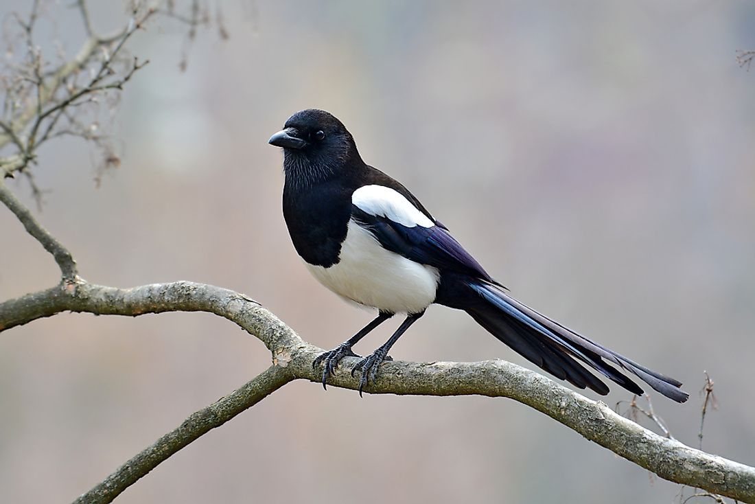 Beautiful Eurasian magpie.