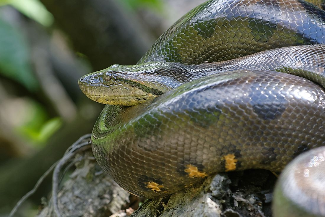 The green anaconda is found across most of north-central South America.