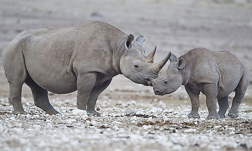 Hunted for centuries for its horn, the black rhinoceros is today critically endangered and might not survive if reasons for its decline continue to exist.