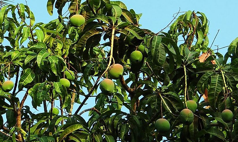 A mango tree laden with ripe mangoes in India.