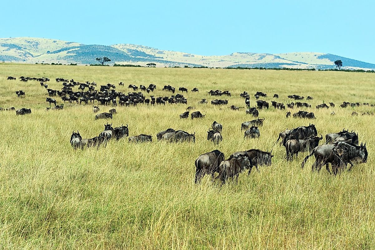 Wildebeests graze in the southeast of Serengeti National Park, proximate to the Ngorongoro Conservation Area, both being part of the larger Serengeti Ecosystem.