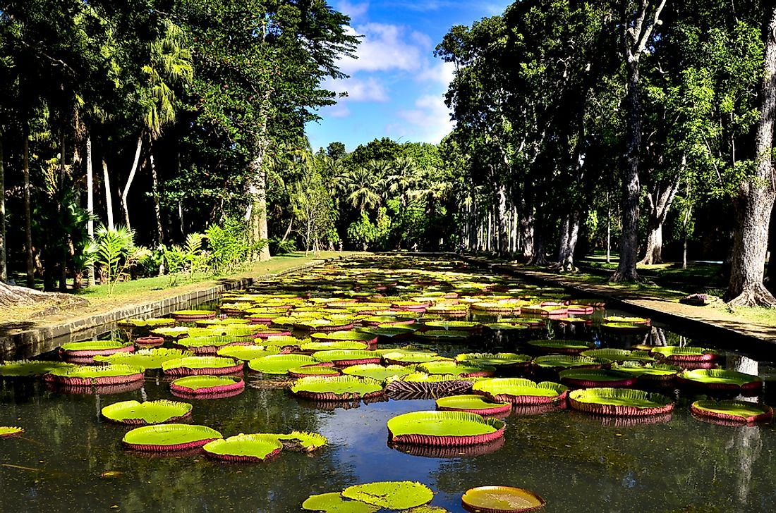 Giant waterlilies in the pond at the Pamplemousses Botanical Garden in Mauritius.