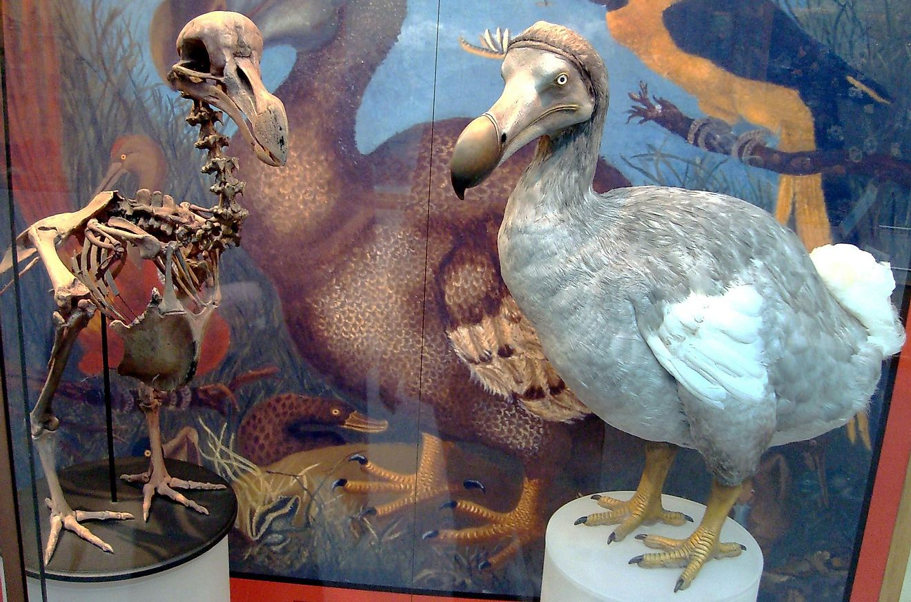 Interestingly, The Extinct Bird Dodo Is The National Animal Of Mauritius.
