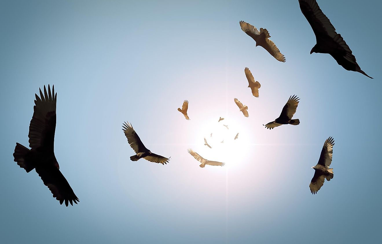 Vultures are often seen moving in a circular motion as they hunt for their next meal.