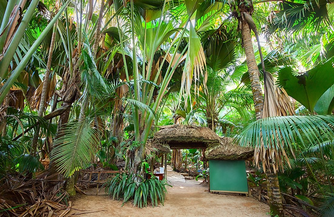 The palm forest of Vallée de Mai, a UNESCO World Heritage Site on Praslin island, Seychelles.