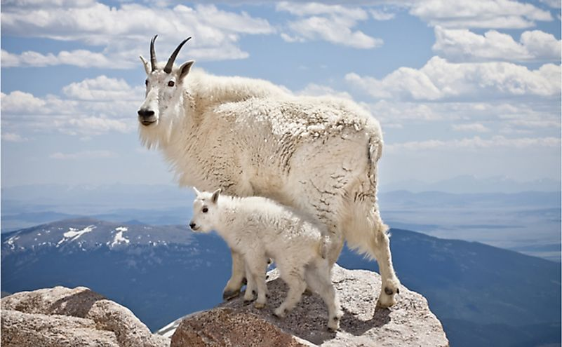 A pair of mountain goats stand proudly, high in the Rocky Mountains.