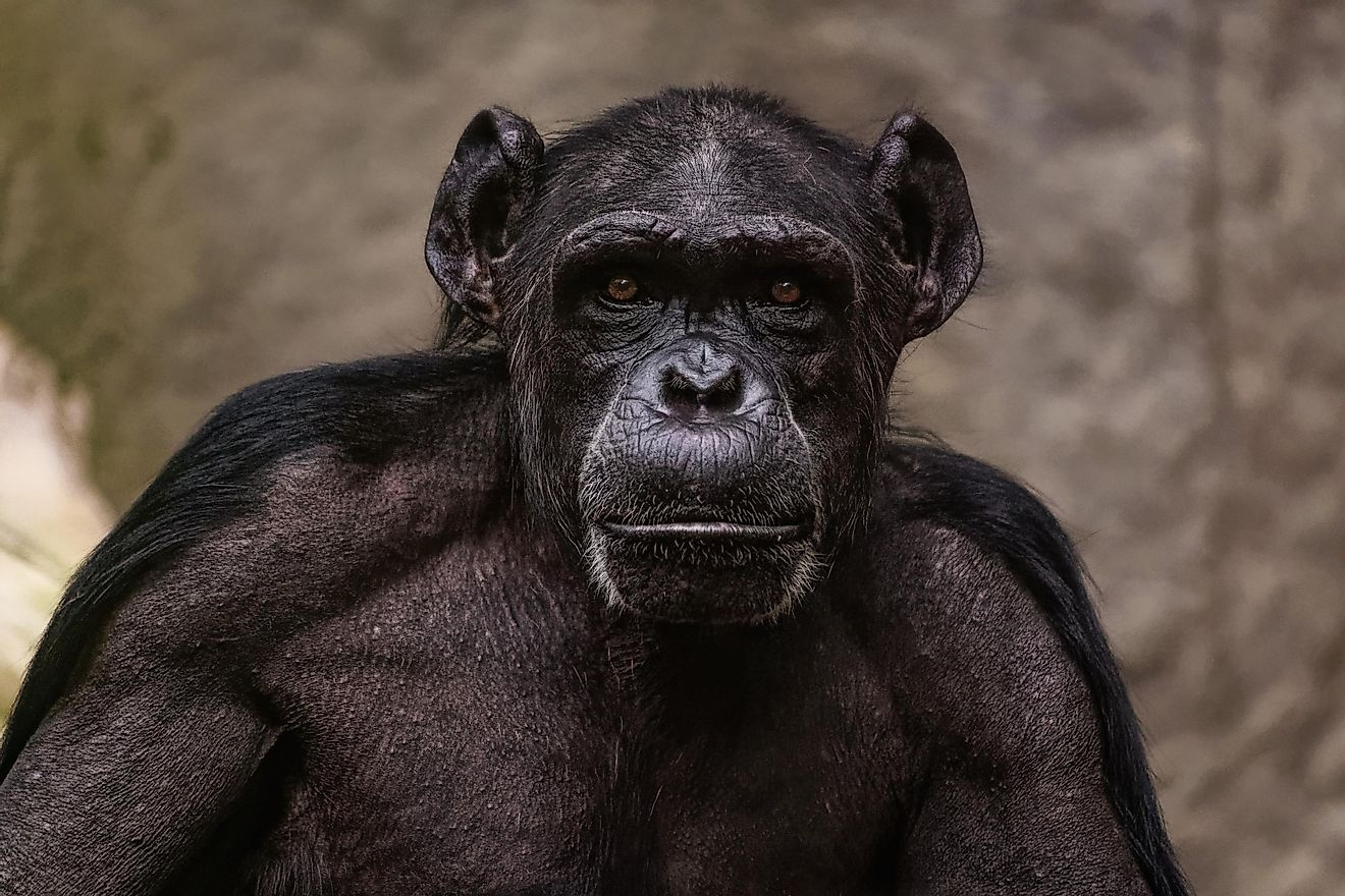 The Gombe Chimpanzee War was, just as its name implies, a war between two groups of chimpanzees that lasted for four years, from 1974 to 1978.