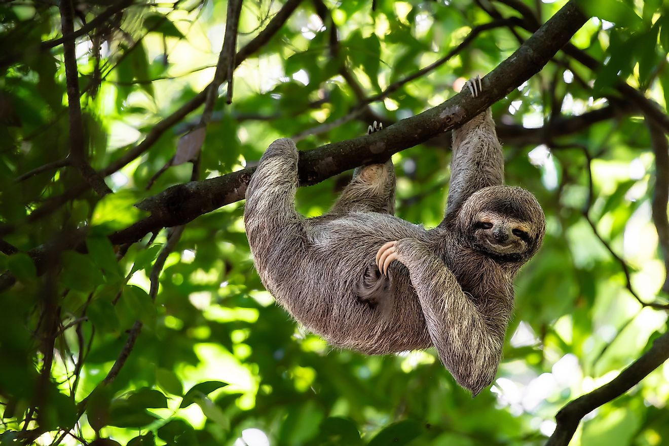 Sloth in a Rainforest of Costa Rica. Image credit: Lukas Kovarik/Shutterstock.com