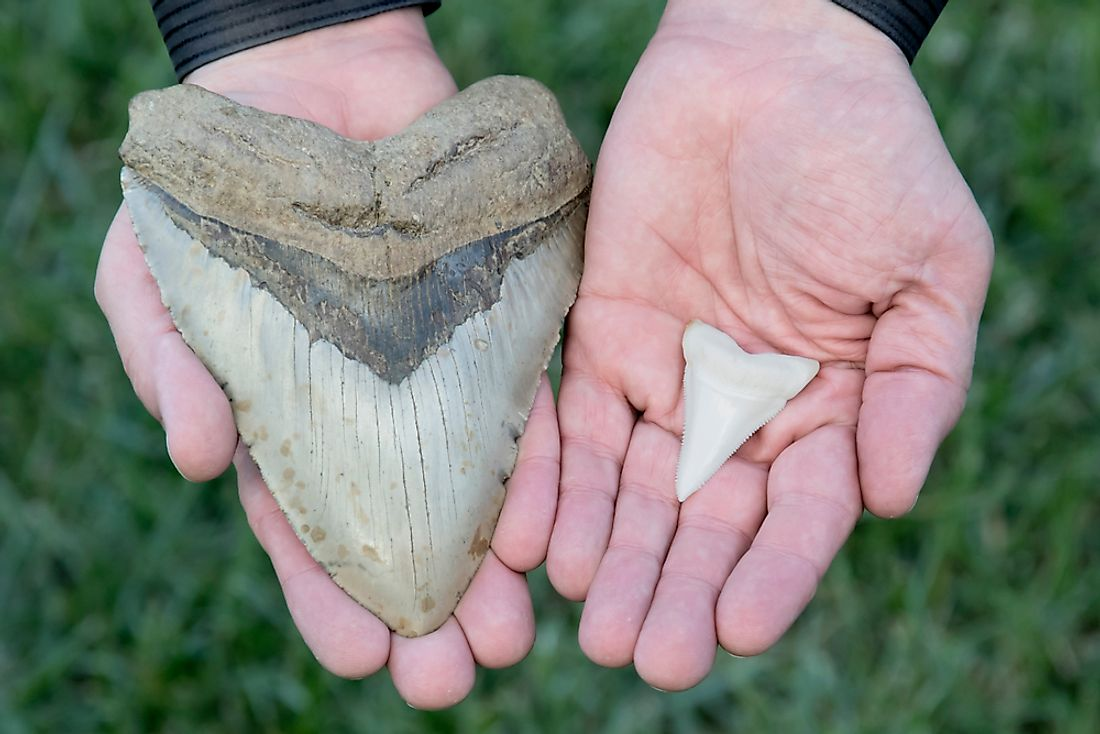 Fossilized Megalodon Shark Tooth VS. Modern Great White Shark Tooth