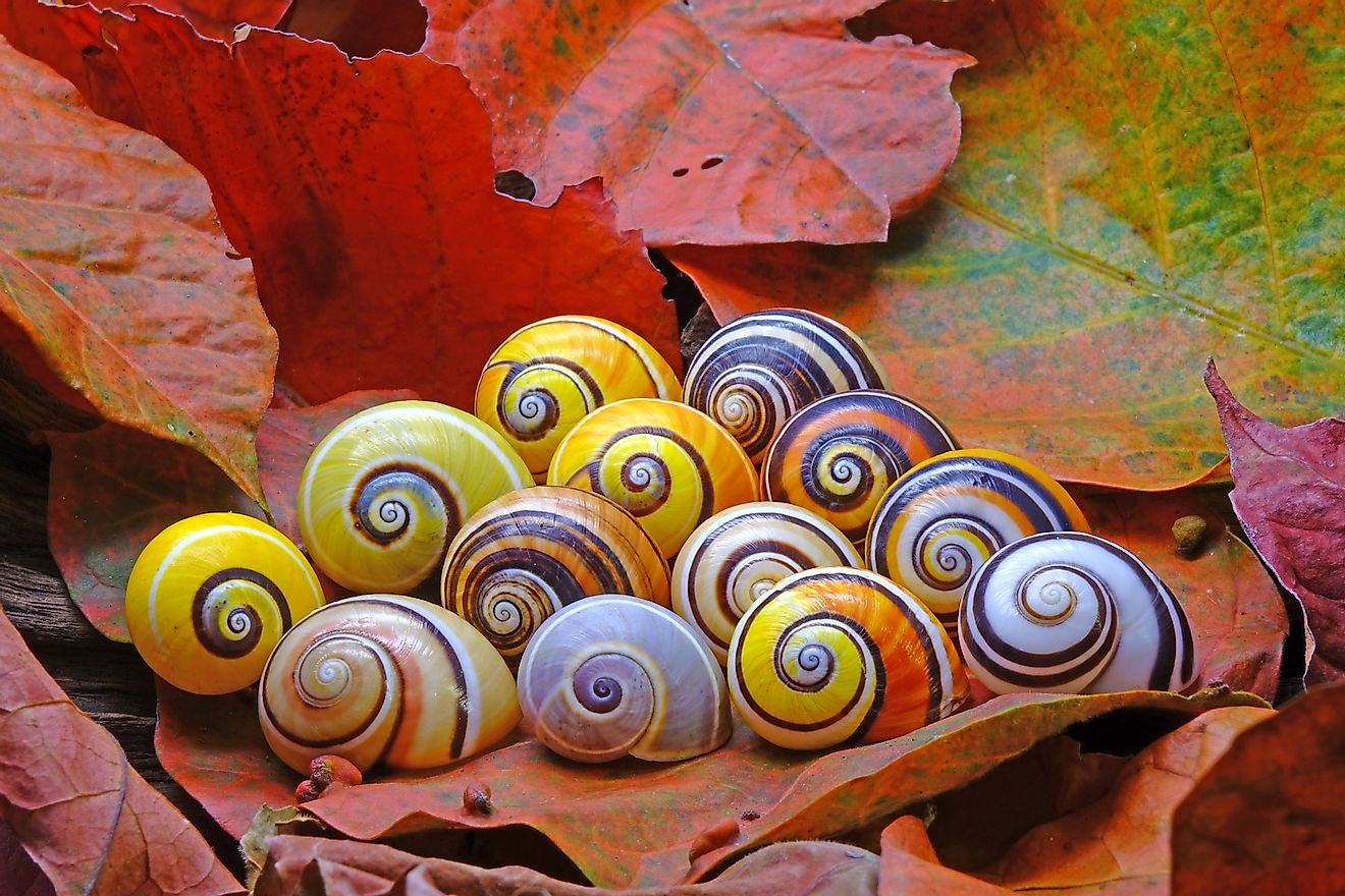 Polymita picta or Cuban painted snails one of most colorful and beautiful land snails in the world. These are found in Cuba, part of the Caribbean Islands biodiversity hotspot region.