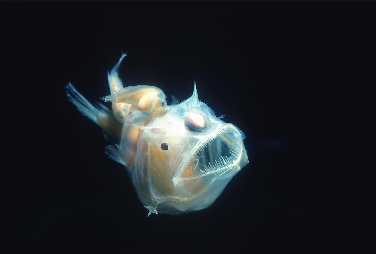 The anglerfish is a bony fish that got its name because of its specific method of predation.