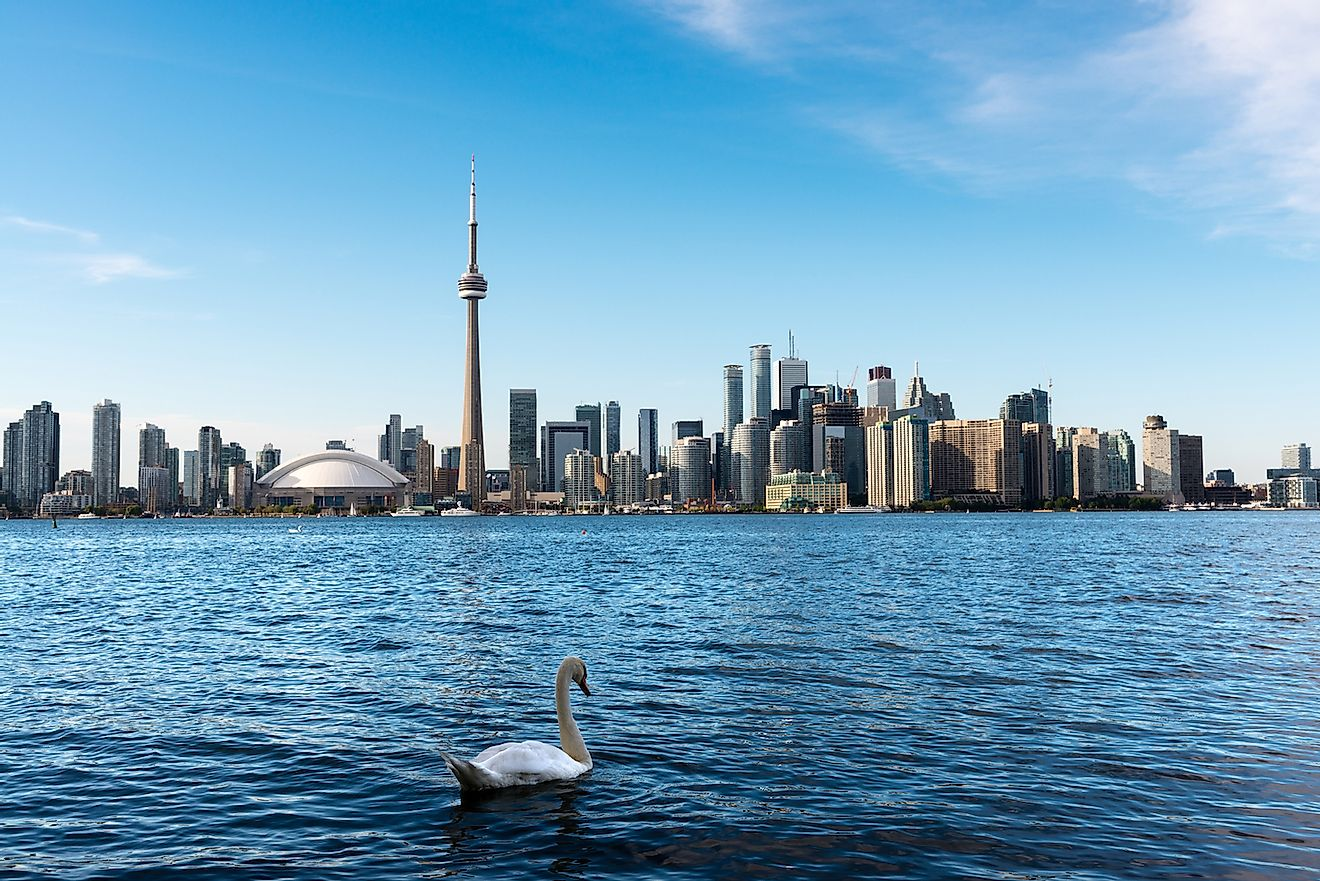 White swan swimming in Lake Ontario with Toronto's skyline in the background. Image credit: Andres Garcia Martin/Shutterstock.com