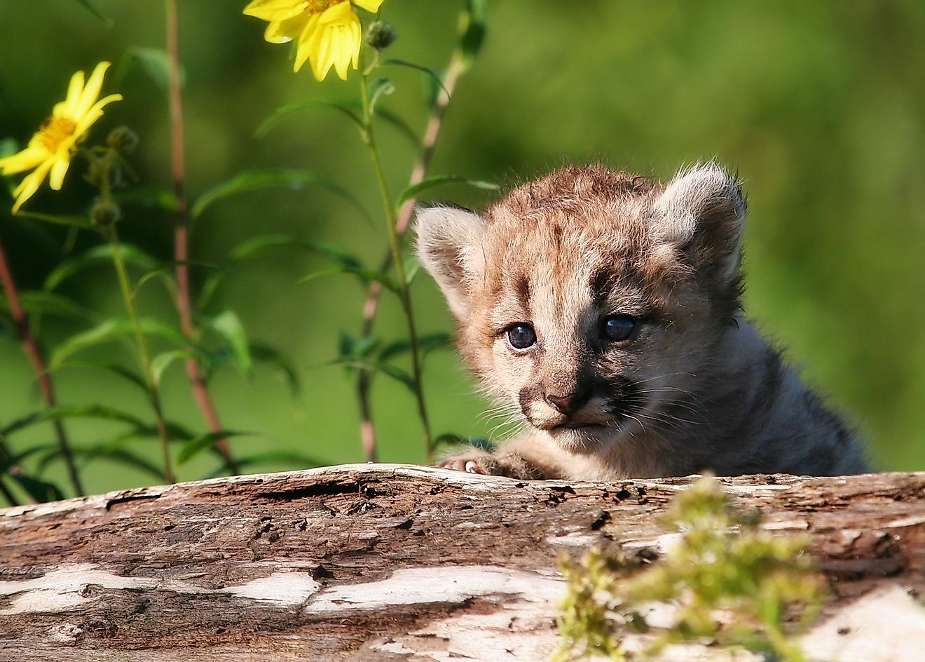Young mountain lion kitten