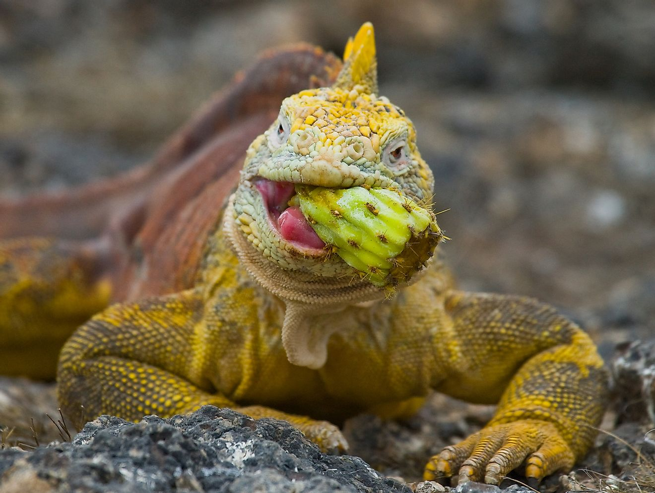 The land iguana eating a prickly pear cactus in Galapagos Islands. Image credit: GUDKOV ANDREY/Shutterstock.com