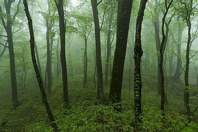 Old-growth stand of beech trees near the Pacific Coast of Hokkaido Island, Japan.